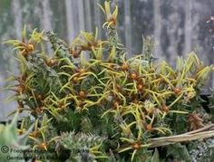 Orbea wissmannii subsp. wissmannii Fotoausstellung Orbea