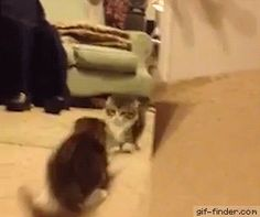 Kitten has Hilarious Reaction to Her Reflection | Gif Finder – Find and Share funny animated gifs
