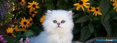White Persian Baby Facebook Timeline Cover Facebook Cover