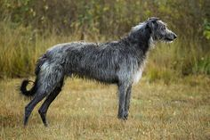 It's just an enormous, scraggly haired Greyhound. Hound Breeds, Hound Dog, Dog Breeds, Perros Chow Chow, Scottish Deerhound, Irish Wolfhounds, Purebred Dogs, Whippets, Lurcher