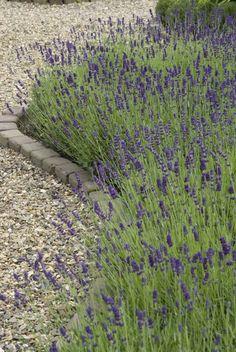 Jak pielęgnować lawendę, by kwitła obficie? Lavandula Angustifolia, Landscaping Plants, How To Dry Basil, Perennials, My House, Home And Garden, Herbs, Backyard, Landscape