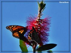 Monarch Butterfly On Bottlebrush Plant. Pacific Grove Butterfly Sanctuary. October 2014.