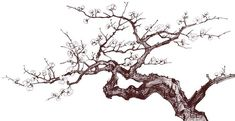 Cherry tree branch tattoo ink ideas for 2019 Flowering Cherry Tree, Cherry Blossom Tree, Blossom Trees, Cherry Tree Tattoos, Willow Tree Tattoos, Tree Branch Tattoo, Pine Tree Tattoo, Tree Wall Murals, Tree Artwork