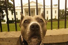 Obama Comes Out Against Dog Breed-Specific Legislation, Joins The Fight For Pit Bulls (right on!)