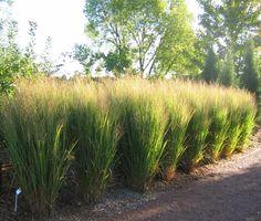 Northwind Switch Grass Panicum  northwind
