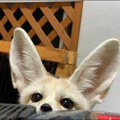 Cute Puppies And Kittens, Funny Animals, Cute Animals, Carnival Of The Animals, Fox Spirit, Fennec Fox, Fox Girl, Pet Fox, Kawaii Cute