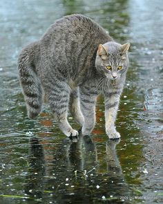 The winter weather is on the way, but that won't stop some cats from having a good time. The kitty in this video doesn't seem to mind that the water is frozen. Watch this cat playing on ice! I Love Cats, Big Cats, Cool Cats, Animal Gato, Mundo Animal, Cute Kittens, Cats And Kittens, Crazy Cat Lady, Crazy Cats