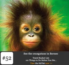 Bucket List #52: See the Orangutans in Borneo. At the Sepilok Orangutan Rehabilitation Centre on the edge of the Kabili-Sepilok forest reserve in Sabah, Borneo you can really get up close and personal with these magnificent creatures. Set up in 1964 to help orphaned orangutans this sanctuary is one of only four in the world