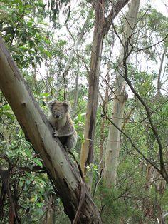 Koala, New South Wales #Australia