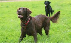 Chesapeake Bay Retriever Dog Breed Information Flat Coated Retriever, Retriever Dog, Dog Best Friend, Dog Friends, Rare Dogs, Dog Facts, Cat Carrier, Dog Fighting, Dog Barking