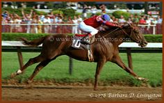 Alydar won the 1978 Whitney Handicap at Saratoga by 10 lengths, beating older horses. (photo by Barbara Livingston)