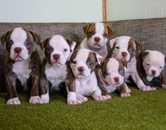 We currently have 4 female and 1 male NKC registered American Bulldogs ready to…
