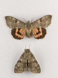 Catocala nupta, red underwing moth, two dried specimens
