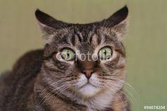 Gatto primo piano #occhi #agilità #animali #artigli #baffi #felini #fusa #gatto #gattoeuropeo #gattotigrato #mammiferi #mondoanimale #natura #quattrozampe #scattante #velocità #zampe