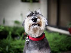 Ranked as one of the most popular dog breeds in the world, the Miniature Schnauzer is a cute little square faced furry coat. Schnauzer Breed, Mini Schnauzer, Miniature Schnauzer, Schnauzers, Silly Dogs, Big Dogs, Love Pet, I Love Dogs, Best Hypoallergenic Dogs
