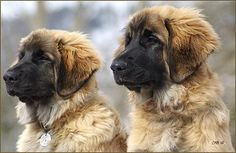 Leonbergers::A name that derives from the city of Leonberg in Baden-Württemberg, Germany - Is a giant dog breed. According to legend, the Leonberger was ostensibly bred as a 'symbolic dog' that would mimic the lion in the town crest.
