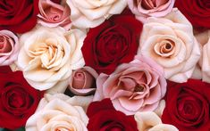 Pink-and-red-roses-background