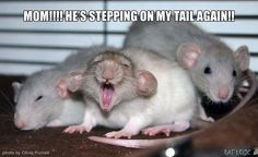 If you like rats, then this post is for you. Is there anything cuter than a rat yawning? Probably not, so with permission from the owner,. Funny Rats, Funny Mouse, Cute Rats, Cute Mouse, Rare Animals, Cute Baby Animals, Animals And Pets, Funny Animals, Strange Animals