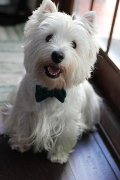 What a Handsome Westie