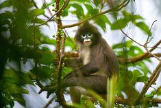 Parks und Heiligtümer in Tripura - Design Kunst Parks, Rare Species, Southeast Asia, Conservation, Monkey, Leaves, Nature, Animals, Thailand