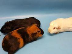 Nara, Female Guinea Pig for adoption in Golden Valley, MN