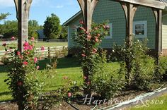 Hartwood Roses: Arch structure for the rose garden to highlight pillar roses