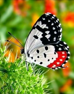 The Red Pierrot , a butterfly so beautiful in its striking patterns of red, white and black. By Iris Hues Butterfly Kisses, Butterfly Flowers, Butterfly Wings, White Butterfly, Butterfly Chrysalis, Butterfly House, Beautiful Bugs, Beautiful Butterflies, Flying Flowers