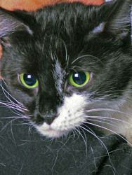 Uma is an adoptable Domestic Long Hair-Black And White Cat in Indianapolis, IN. Indianapolis Animal Care and Control's adoption fee is $60 for all animals. This includes the spay/neuter surgery, all a...