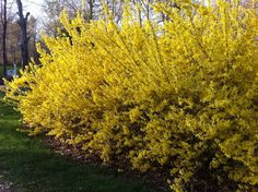 Forsythia are among the most often developed bushes in your home backyard – plus one of the very abused. Several homeowners purchase a forsythia thinking concerning the vibrant orange blossoms that appear in spring. Which means it is planted by you near a screen, doorway, or pathway where you'll have the ability to quickly view it entirely bloom. 3 years later it's a-10- base beast that's causing you to detour around it to obtain inside and preventing your watch.