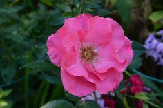Romanze | Vesan viherpiperryskuvat – puutarha kukkii