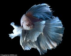 Some interesting betta fish facts. Betta fish are small fresh water fish that are part of the Osphronemidae family. Betta fish come in about 65 species too! Pretty Fish, Beautiful Fish, Beautiful Pictures, Colorful Fish, Tropical Fish, Poisson Combatant, Beautiful Creatures, Animals Beautiful, Carpe Koi