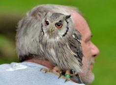 An owl on my shoulder, photo by BoNik - Pixdaus