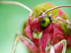 Deilephila elpenor (Elephant Hawk-moth)