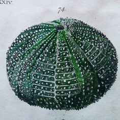 Detail of hand coloured engraving of sea urchin from Zoology by Thomas Pennant…