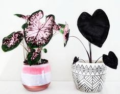 Caladium and Colocasia Black Magic House Plants Decor, Garden Plants, Indoor Plants, Inside Plants, Plant Aesthetic, Décor Boho, Green Life, Houseplants, Flower Power