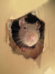 Rat - gorgeous photo