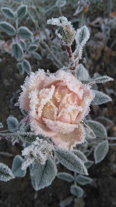 Красивые Розы, Красивые Цветы, Зимние Цветы, Садоводство, Природа, Сады, Лед, Зимний Сад, Розы