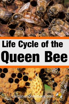 How does a bee colony produce a new queen? How long does a queen bee live? The queen bee life cycle tells the story about life inside a bee colony. Honey Bee Life Cycle, Different Bees, Beekeeping For Beginners, Bee Swarm, Backyard Beekeeping, Bee Happy, Save The Bees, Life Cycles, Queen Bees