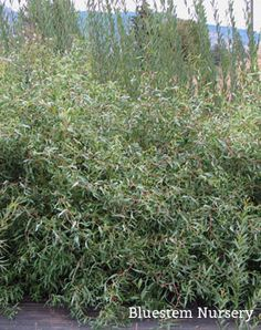 Salix sepulcralis 'Erythroflexuosa' - Twisted Willow