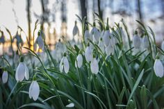 Another snowdrop image with sunset