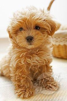 Little teddy bear pup.