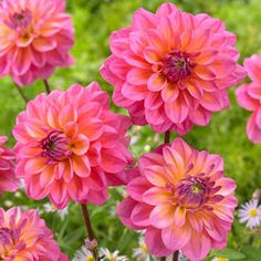 Decorative Dahlias produce large, fully double flowers with rounded petals throughout the summer where it will produce masses of flowers. Great Silence produces magenta-pink blooms flushed with orange, it is ideally planted in a sunny garden border, Winter Flowers, Summer Flowers, Cut Flowers, Colorful Flowers, Beautiful Flowers, Daffodils, Pansies, Winter Bedding, Garden Borders