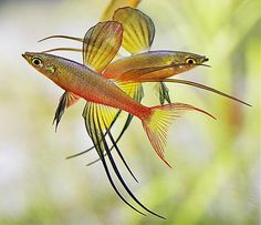 Threadfin rainbowfish  Size: 2 inches  Easy to keep  Temperature: 73 - 86 ºF  pH: 6.0 – 8.0 pH  Hardness: 5 - 15 dH  Tank Level: Top and middle  Six or more, try and keep one male for every two females.  Minimum tank size: 12 gallons for every group of six fish  Lifespan: 4 years