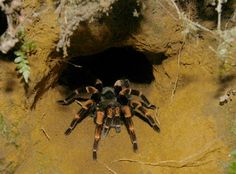 Burrowing tarantulas: Their need for speed is lessened by the fact that they are able to retreat into an underground burrow to safety.  ARANTULAS: Alive And Up Close: Burrowing and Terrestrial Tarantulas