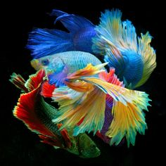 Find Art, Buy Art, Betta Fish Types, Fish Wall Art, Bird Artwork, Beautiful Fish, Original Art For Sale, Lovers Art, Pet Birds