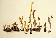 Scarlet Caterpillarclub (Cordyceps militaris). Image is under CC BY-NC-SA of Natural History Museum of Denmark (http://1url.cz/m2lK).