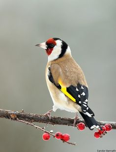 Goldfinch  The Goldfinch has eye-catching black and yellow wings and a scarlet red face with black and white markings around the face. Their tails are black with white spots and the rump white. Often seen in large flocks.