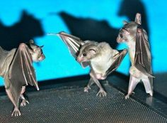 """If you flip a photo of bats hanging upside down, they look like they're having a wicked dance-off""."