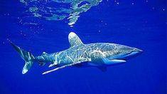 Cuatro aerolíneas no transportarán más aletas de tiburón en sus aviones de carga
