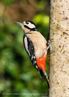 Woodpecker.Flickr